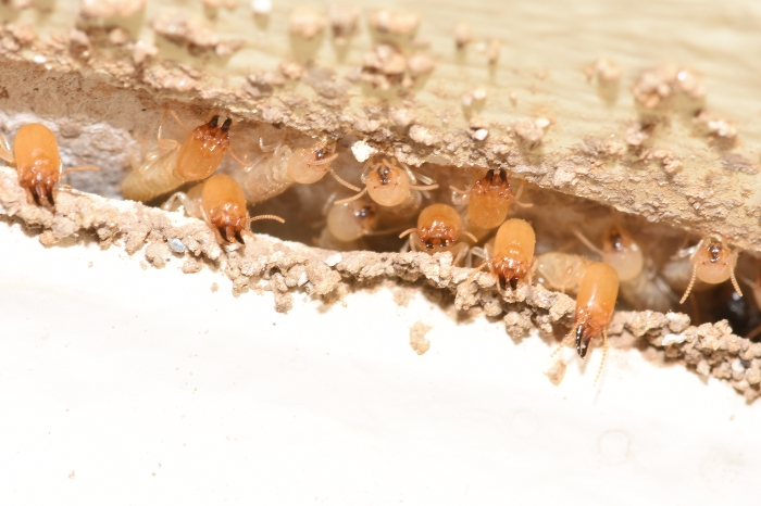 Termites Eating through Wood